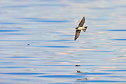 A tree swallow (Tachycineta bicolor) hunts by flying low over the water of Lake Washington near Renton, Washington. The tree swallow mainly feeds on insects with flies making up to 90 percent of its diet in some parts of its range.