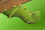 Poplar Hawk-moth larvae
