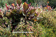 65821-00119 Coleus (Solenostemon scutellarioides), Canna (Canna 'Tropicana'), Medallion Daisy (Melampodium paludosum 'Showstar Yellow') in Terrace Garden, Sarah P. Duke Gardens, Durham, NC