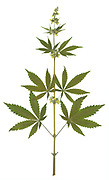 A Male Cannabis Plant (Cannabis sativa) in bloom. The plant produces tetrahydrocannabinol (THC), the active component of cannabis when used as a drug.