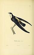 Chaetura nudipes Souvenirs d'un voyage dans l'Inde exécuté de 1834 à 1839 (A voyage to India) by Delessert, Adolphe, published in Paris in 1843