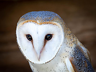Hush, a European barn owl, in the care of the Hoo's Woods Raptor Center near Whitewater, Wisconsin. According to Dianne Moller, Hoo's Woods director, Hush is captive bred, now three years old. European barn owls look the same as the American Barn owl only smaller.