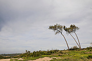 Pine trees in the Carmel Forest, israel