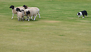 Border Collie herds a flock of sheep