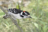 Downy Woodpecker, Craning It's Neck, Picoides pubescens