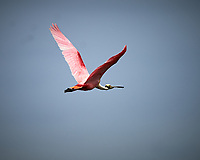 Roseate Spoonbill in flight. Black Point Wildlife Drive, Merritt Island National Wildlife Refuge. Image taken with a Nikon Df camera and 300 mm f/4 lens (ISO 110, 300 mm, f/4, 1/1250 sec).
