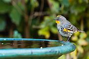 A Yellow Rumped Warbler at the Bird Bath.