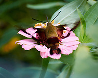 Hummingbird Clearwing moth on a Zinnia flower. Image taken with a Nikon 1 V3 camera and 70-300 VR lens.