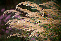 Stipa calamagrostis. Rough feather grass