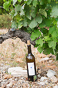 A bottle of Cuvee Hemera 2002 in the vineyard. Domaine des Grecaux in St Jean de Fos. Montpeyroux. Languedoc. Vine leaves. Old, gnarled and twisting vine. Calcareous limestone plateau called rendzine. Terroir soil. France. Europe. Bottle. Vineyard. Soil with stones rocks. Calcareous limestone.