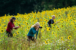 © Licensed to London News Pictures. 22/08/2021. CHORLEYWOOD, UK.  Members of a local walking group view sunflowers currently in bloom in a field in Chorleywood, Hertfordshire.  As well as being attractive to pollinators, the sunflower seeds will provide food for birds during the autumn.  Photo credit: Stephen Chung/LNP