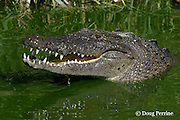 American crocodile or estuarine crocodile, Crocodylus acutus ( Endangered Species ), raises head to swallow ( crocodiles cannot swallow underwater, as water could go down the windpipe ) Northern Caye, Lighthouse Reef Atoll, Belize, Central America