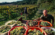 Grape harvest in Toscana.