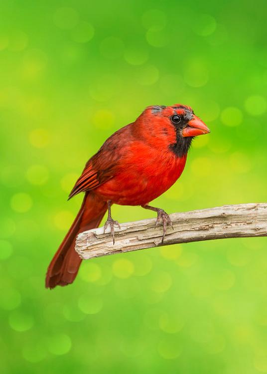 Bad Hair Day Molting Cardinal On Lime Bokeh