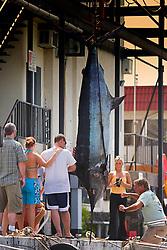 Blue Marlin, Makaira nigricans, 550 lb. sport fishing trophy catch, Honokohau Harbor, off Kona Coast, Big Island, Hawaii, USA, Pacific Ocean, Digital Composite