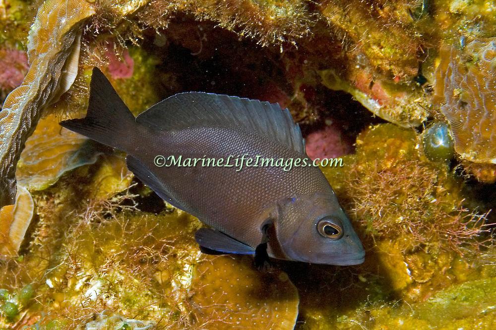 Black Hamlet inhabit reefs in Tropical West Atlantic; picture taken Belize.