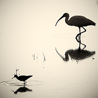Silhouette and Reflection of a White Ibis and Small Wading Bird Feeding at Merritt Island National Wildlife Refuge in Florida. Image taken with a Nikon 1 V2 camera, FT1 adapter, and 70-200 mm f/4 VR lens (ISO 160, 200 mm, f/4, 1/4000 sec). Raw image processed and converted to B&W with Capture One 7 Pro. Image sharpening using Focus Magic 2.