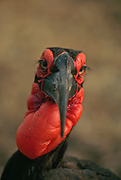 Portrait of a southern ground hornbill with red facial skin and neck.