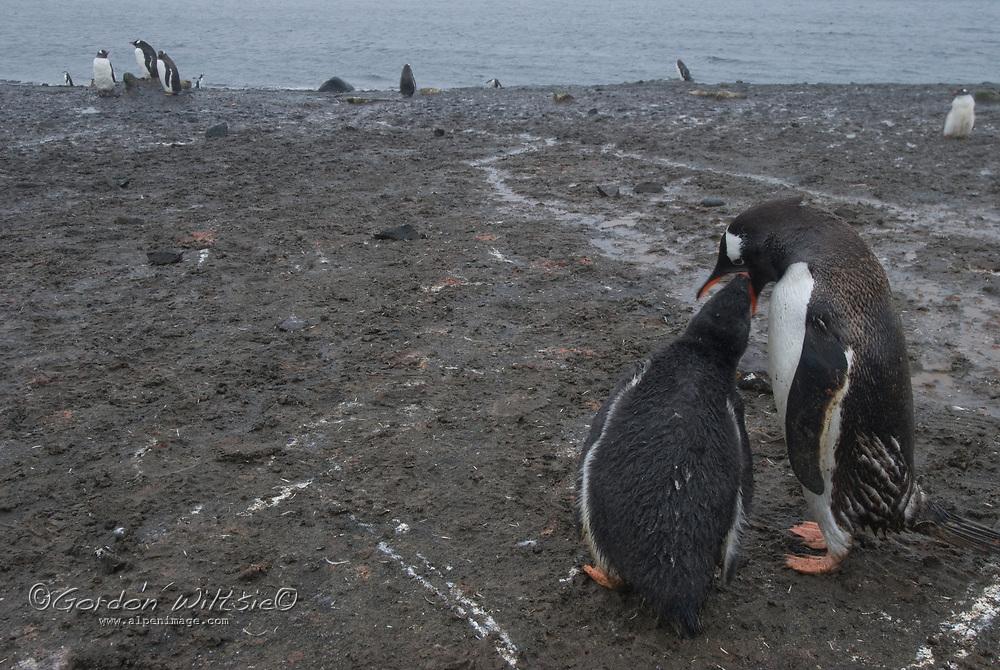 A Gentoo penguin parent (Pygoscelis papua) feeds its chick on a muddy beach on Aitcho Island, Antarctica.