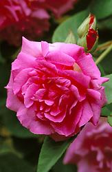 Rosa 'Zephrine Drouhin'