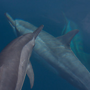 Palawan - Spinner Dolphins