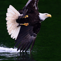 The Bald Eagle of America flies over ocean water. With talons ready, a Bald Eagle skims the bay hunting for fish in Juneau, Alaska. The tips of its wings dip into the water as it flies by.