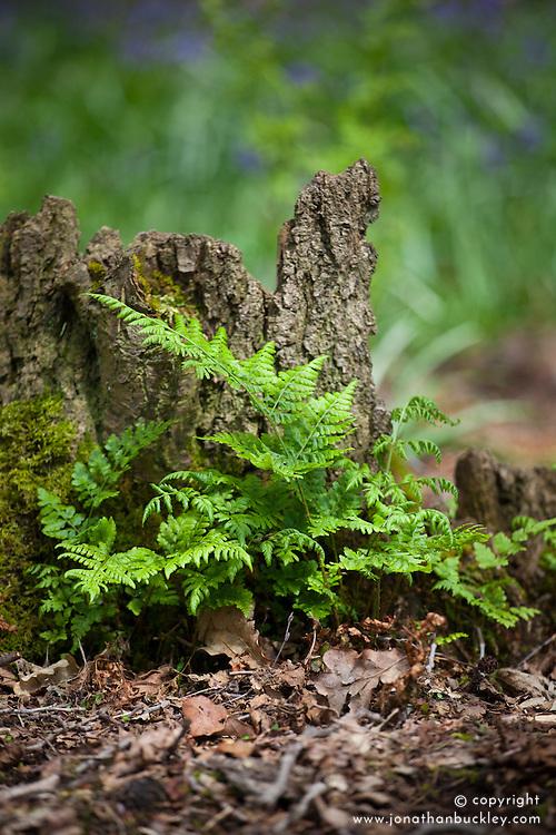Broad Buckler-fern growing wild in a woodland. Dryopteris dilatata