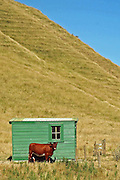 New Zealand cow in front of green shed taking in the views of the East Cape of North Island New Zealand