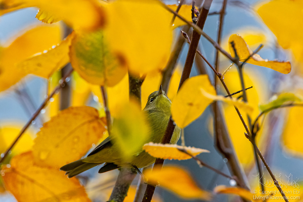 A ruby-crowned kinglet (Corthylio calendula) is partially obscured by golden autumn leaves on its perch in a small tree in Snohomish County, Washington.