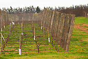 The vineyard with Tannat planted in 2002 with clone 717 and vines trained in cordon Royat the stones have specifically been put there to improve the growing conditions Bodega Bouza Winery, Canelones, Montevideo, Uruguay, South America