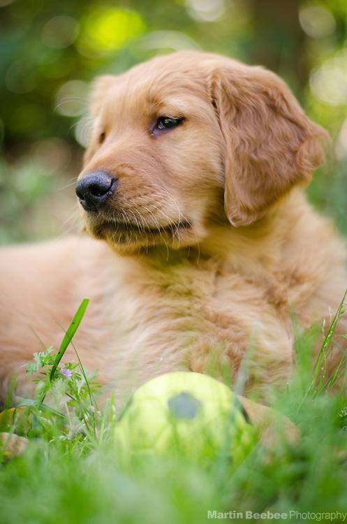 Eight week old golden retriever puppy