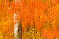 Aspen, Populus tremula, and Maple, Acer platanoides, Lake Tåkern, Sweden