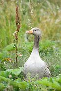 Greylag goose (Anser anser), Walthamstow Wetlands, London E17, UK © Rudolf Abraham