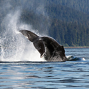 Humpback whale (Megaptera novaeangliae) executing a tail slap during a sunny day in Alaska. This whale was part of a group engaged in bubble net feeding.