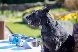Hamish, the Commonwealth Scottie Dog, tries out the Chez Roux dog menu at Greywalls Hotel & Chez Roux, Gullane. l-r Ground turkey, sweet potato and porridge stew;  WITH the cheap dog food in the blue bowl; the salmon, mackerel, spinach and brown rice risotto; the Chicken liver, Beef and bean meatloaf with jelly.