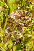Mojave Rattlesnake Hidden in the Grass, Ready to Strike, Carrizo Plain National Monument, California
