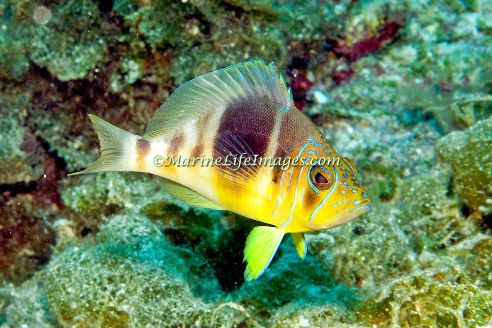 Barred Hamlet inhabit reefs in Tropical West Atlantic; picture taken San Salvador, Bahamas.