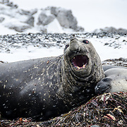 A bull Southern Elephant seal surrounded by two females gives off a roar on the beach on Livingston Island in the South Shetland Islands, Antarctica.