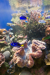 giant clams, Tridacna gigas, in tropical coral reef, Indo-Pacific Ocean