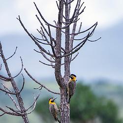 Pica-pau-do-campo (Colaptes campestris) fotografado no Parque Nacional da Chapada dos Veadeiros - Goiás. Bioma Cerrado. Registro feito em 2015.<br /> ⠀<br /> ⠀<br /> <br /> <br /> <br /> <br /> ENGLISH: Campo Flicker photographed in Chapada dos Veadeiros National Park - Goias. Cerrado Biome. Picture made in 2015.