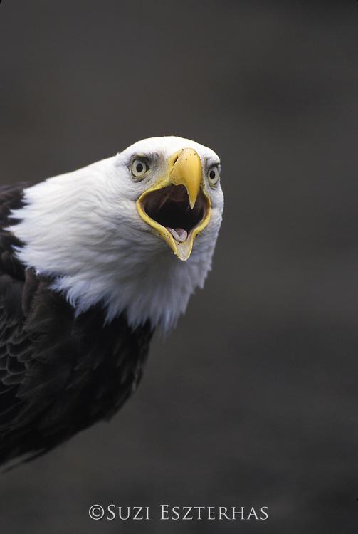 Bald Eagle<br /> Haliaeetus leucocephalus<br /> Dutch Harbor, Aleutian Islands, Alaska