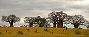 Tarangire National Park, Tanzania, with huge Baobab-trees.