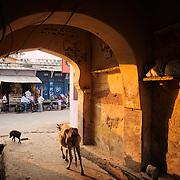 Cow wandering a back alley of Bundi