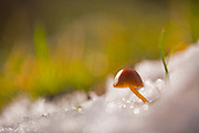 Toadstool growing out of the snow Photographed in Israel in January