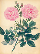 ROSA Provincialis, blanda, Blush Province Rose From the book Roses, or, A monograph of the genus Rosa : containing coloured figures of all the known species and beautiful varieties, drawn, engraved, described, and coloured, from living plants. by Andrews, Henry Charles, Published in London : printed by R. Taylor and Co. ; 1805.