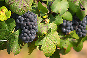 Bunches of ripe grapes. Vine leaf. Pinot noir. Pommard, Cote de Beaune, d'Or, Burgundy, France