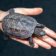Juvenile 10cm female Chinese pond turtle (Mauremys reevesii) at 2.5 years of age. This species is semiaquatic in the wild, found in marshes, ponds, streams and similar bodies of shallow water. It is listed as Endangered on the IUCN Red List, threatened by several causes, including competition from introduced species, loss of habitat, and use in Chinese medicine. This species is also popular in the global pet trade. This individual was found on a road in Japan, far from water, when it was only 2.8cm, perhaps picked up and transported by a crow shortly after birth. Though the species had earlier been considered native to Japan, genetic testing in recent years suggests multiple introductions from outside Japan.