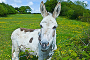 Traditional Irish donkey in County Cork, Ireland