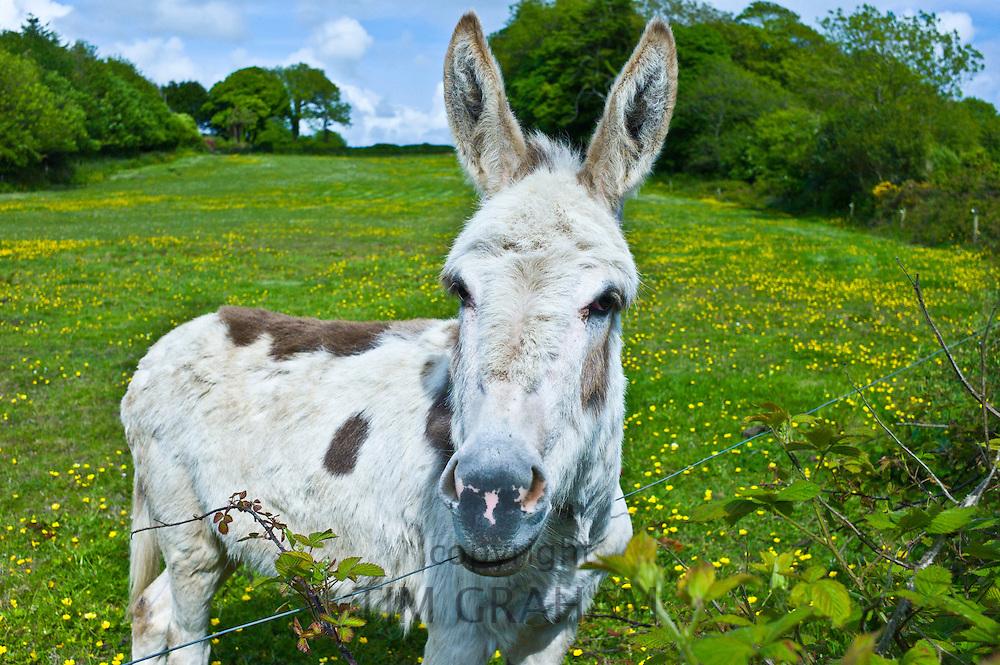 Traditional Irish donkey in County Cork, Ireland