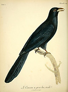 LE COUCOU à gros bec (Large-Billed Cuckoo) from the Book Histoire naturelle des oiseaux d'Afrique [Natural History of birds of Africa] Volume 5, by Le Vaillant, Francois, 1753-1824; Publish in Paris by Chez J.J. Fuchs, libraire 1799